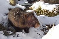 Wombat tasmański podczas zimy