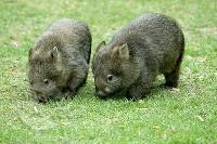 Wombaty tasmańskie