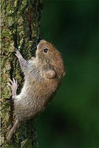 Mysz leśna wspinająca sie na drzewo