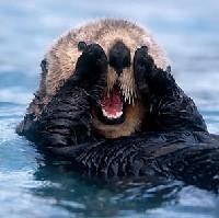 Wydra morska z łapkami na twarzy