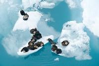 Wydry morskie na lodowcach