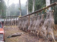 Zabite stado Jeleni