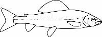 Zarys ciała ryby gatunku lipień pospolity