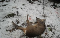 Zwierze zranione przez potrzask