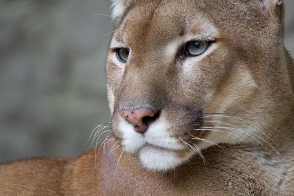 Puma Płowa Wwwdrapieznikipl